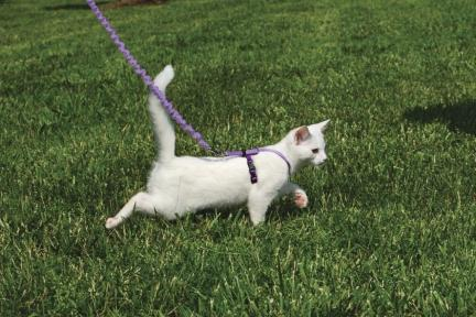 White Kitty Walking On Leash with Harness